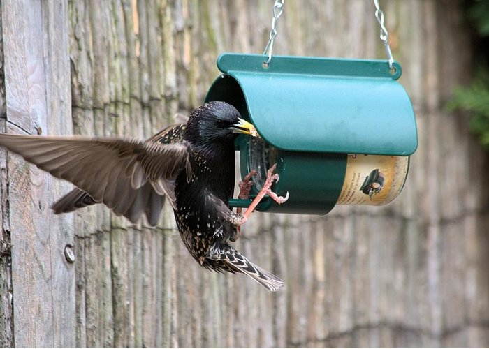 Starling On Bird Feeder Greeting Card featuring the photograph Starling On Bird Feeder by Gordon Auld