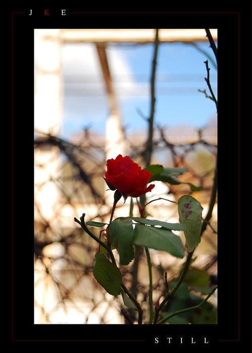 Rose Greeting Card featuring the photograph Still by Jonathan Ellis Keys