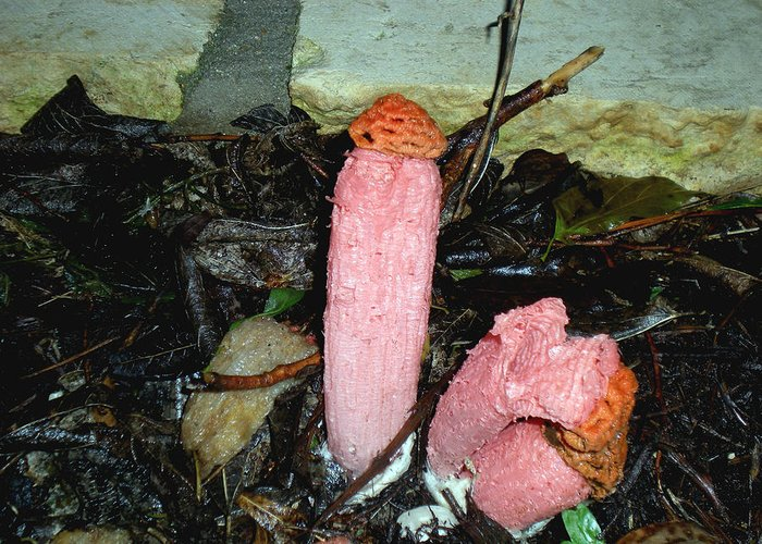 Photography Greeting Card featuring the photograph Stinkhorn by Evelyn Patrick