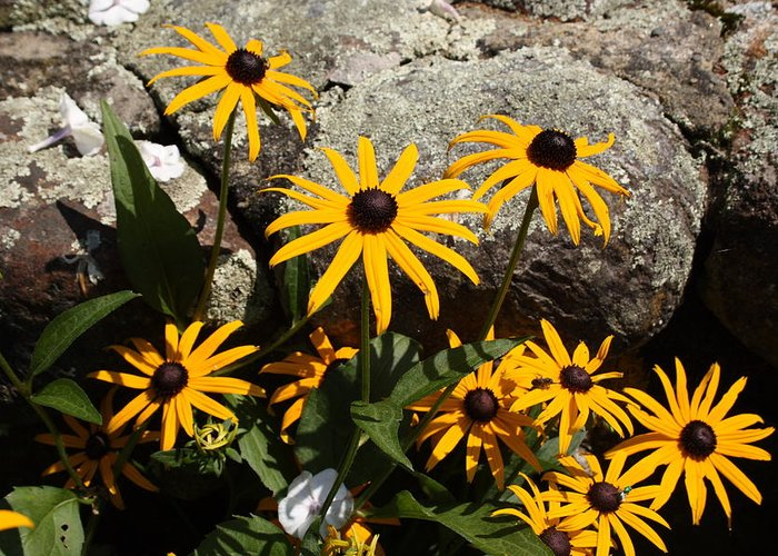 Landscape Greeting Card featuring the photograph Stone Flowers Black Eyed Susan by Doug Mills