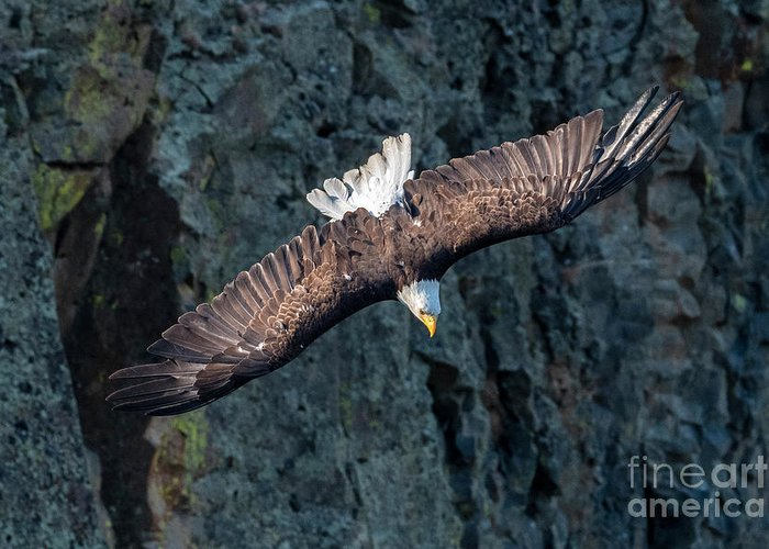 Eagle Greeting Card featuring the photograph Straight Down by Mike Dawson