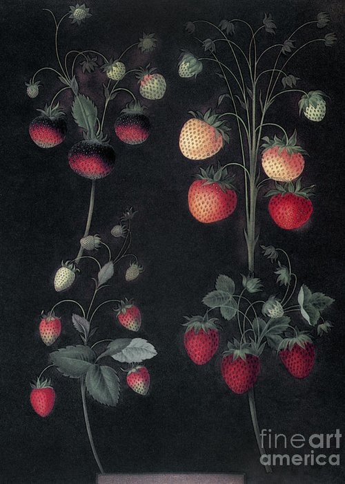 1812 Greeting Card featuring the photograph Strawberries by Granger