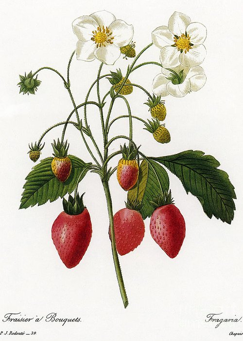 1833 Greeting Card featuring the photograph Strawberry by Granger