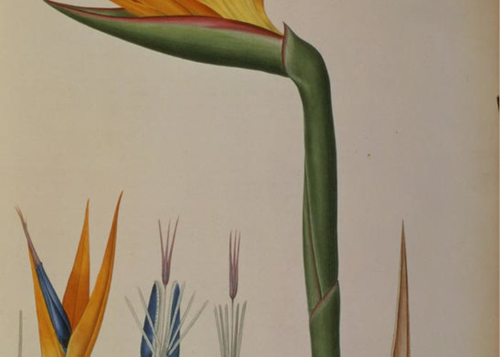 Strelitzia Greeting Card featuring the painting Strelitzia Reginae by Pierre Joseph Redoute