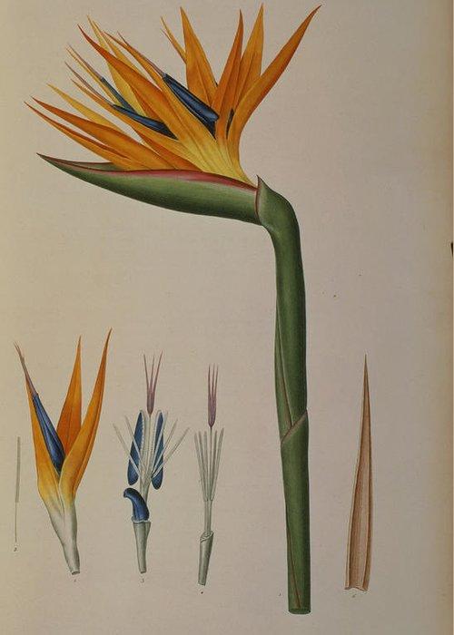 Strelitzia Greeting Card featuring the painting Strelitzia Reginae by Pierre Joseph Redoute