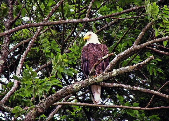 Eagle Greeting Card featuring the photograph Strength by JAMART Photography