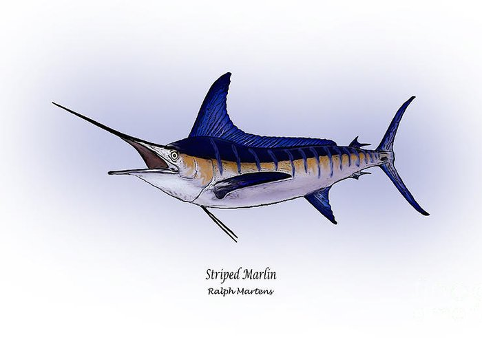Striped Marlin Drawings Greeting Cards
