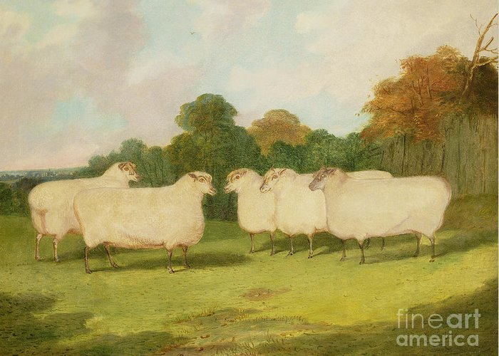 Study Greeting Card featuring the painting Study Of Sheep In A Landscape  by Richard Whitford