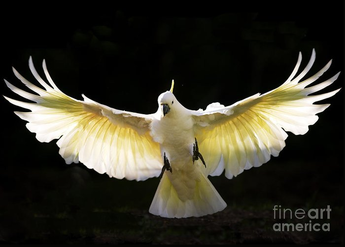 Sulphur Crested Cockatoo Australian Wildlife Greeting Card featuring the photograph Sulphur Crested Cockatoo In Flight by Avalon Fine Art Photography
