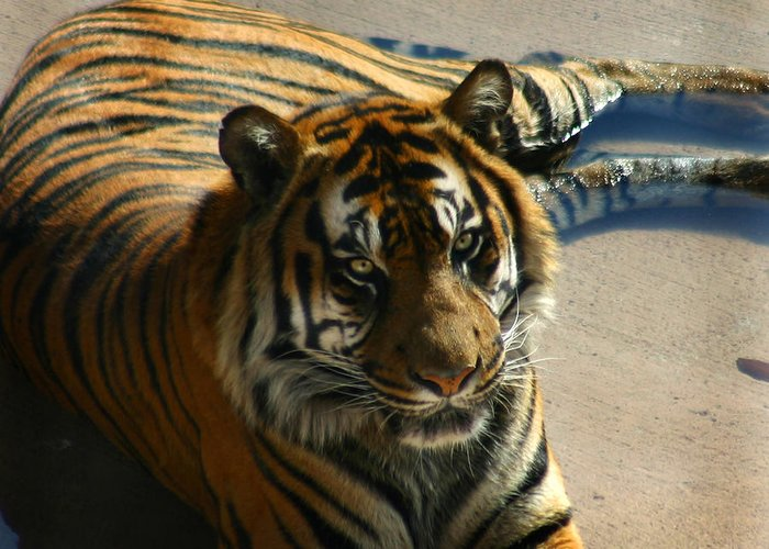 Tiger Greeting Card featuring the photograph Sumatran Tiger by Anthony Jones