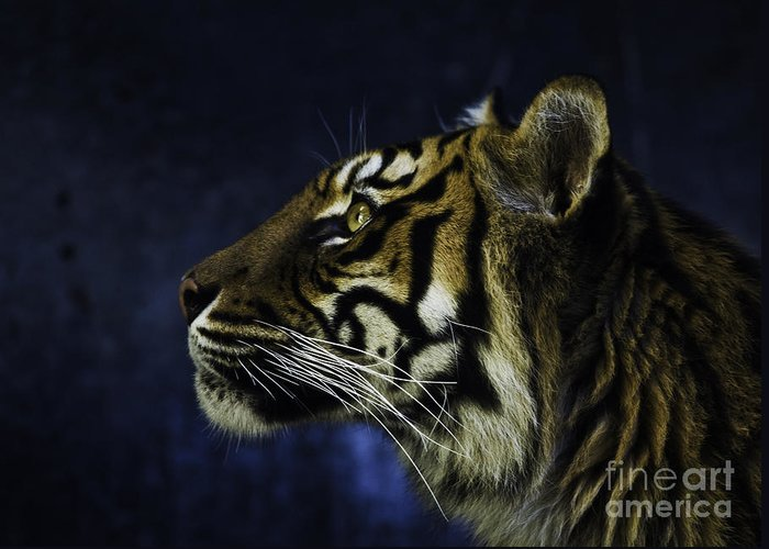 Sumatran Tiger Greeting Card featuring the photograph Sumatran Tiger Profile by Sheila Smart Fine Art Photography