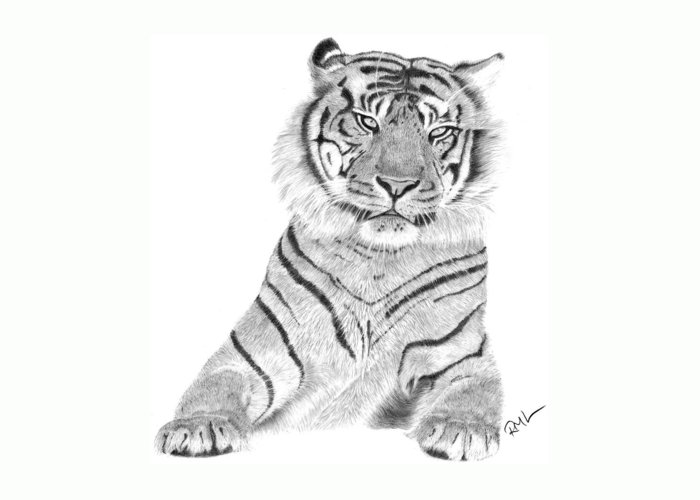 Tiger Artwork Greeting Card featuring the drawing Sumatran Tiger by Rosanna Maria