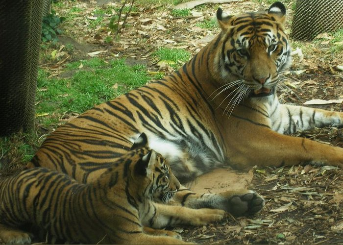 Tiger Greeting Card featuring the photograph Sumatran Tigers by Travis Day