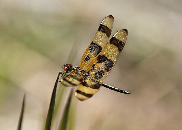 Dragonfly Greeting Card featuring the photograph Summer Beauty by Lisa Clark