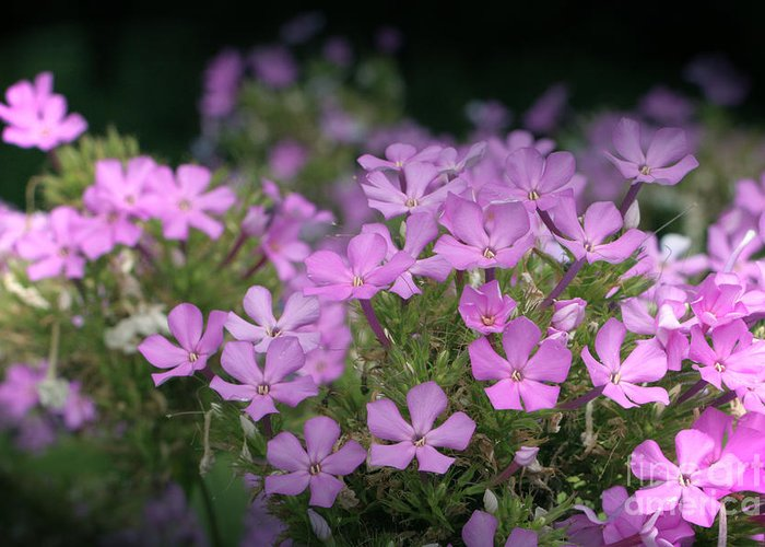 Summer Greeting Card featuring the photograph Summer Phlox by Jeannie Burleson