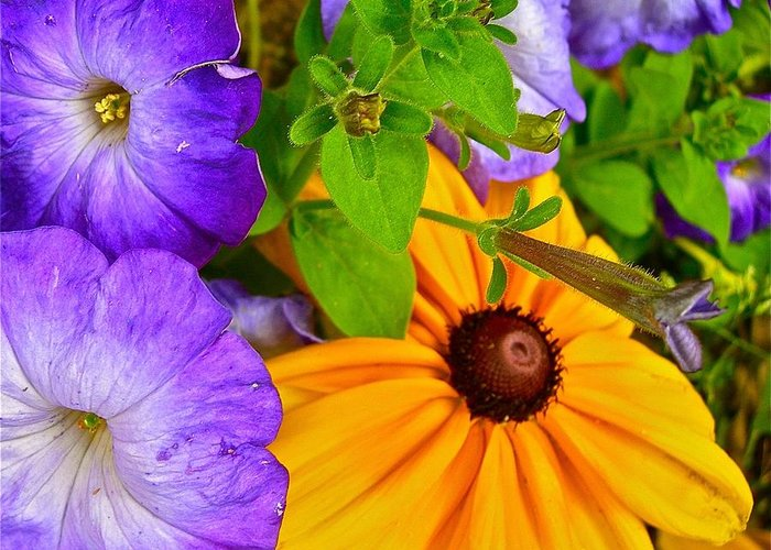 Petunias Greeting Card featuring the photograph Summer Sensations by Randy Rosenberger