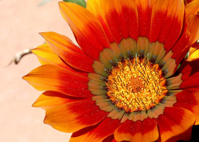 Flower Greeting Card featuring the photograph Sun Bloom Of Fire by Edan Chapman
