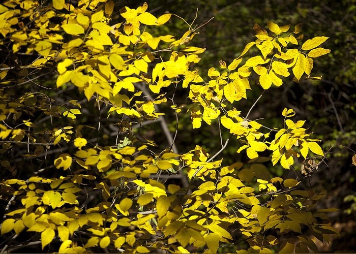 Plano Greeting Card featuring the photograph Sun-kissed Golden Leaves 2 by Barry Benton