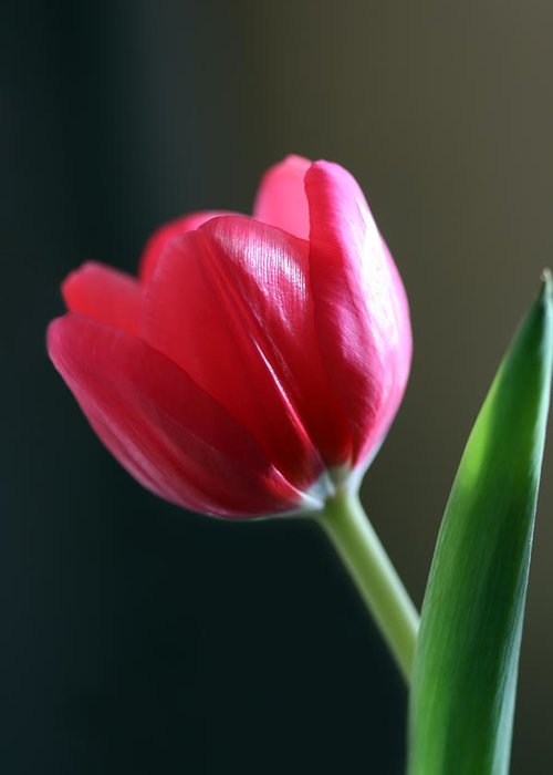 Tulip Greeting Card featuring the photograph Sun Kissed Tulip I by Lesley Smitheringale