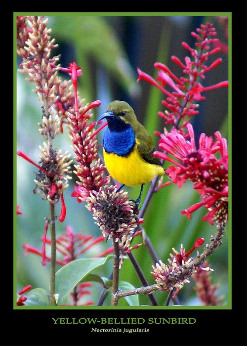 Animals Greeting Card featuring the photograph Sunbird by Holly Kempe