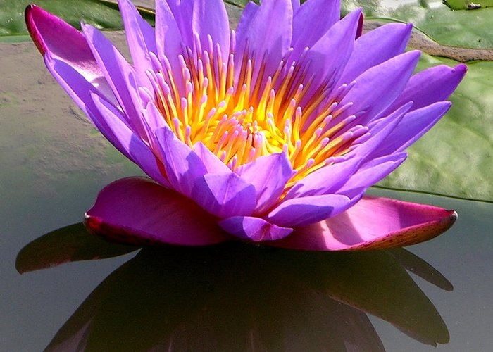 Water Lily Greeting Card featuring the photograph Sunburst Lily by John Lautermilch