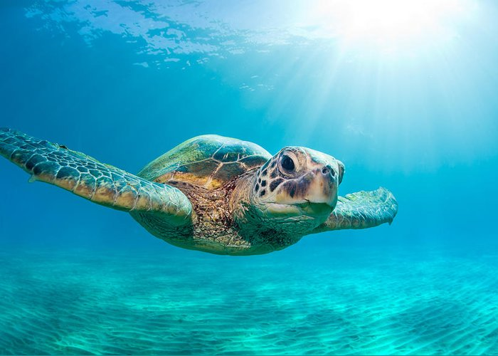 Sunburst Greeting Card featuring the photograph Sunburst Sea Turtle by Michael Swiet