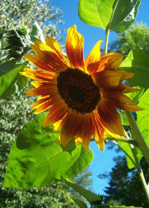 Sunflower Greeting Card featuring the photograph Sunflower 101 by Ken Day