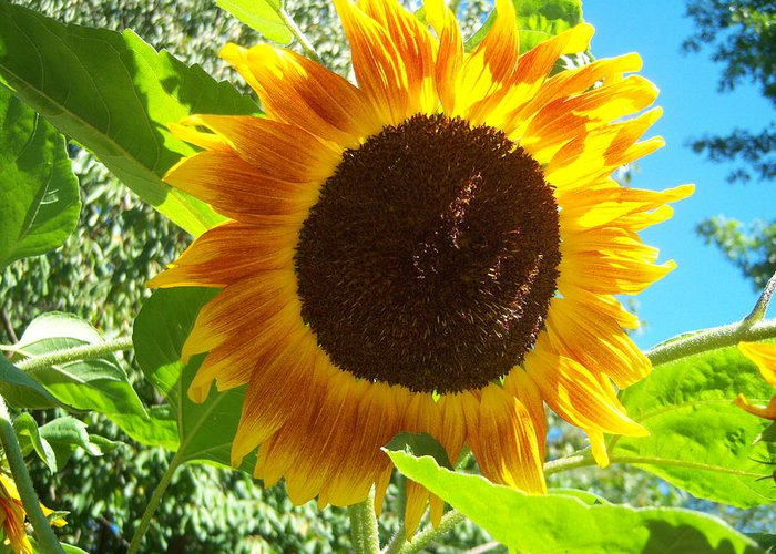 Sun Greeting Card featuring the photograph Sunflower 103 by Ken Day