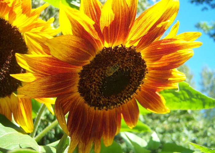 Sun Greeting Card featuring the photograph Sunflower 104 by Ken Day