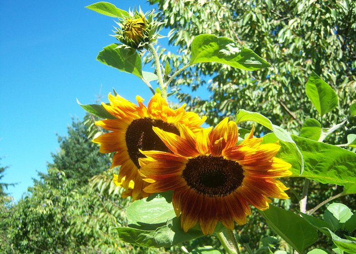 Sun Greeting Card featuring the photograph Sunflower 106 by Ken Day