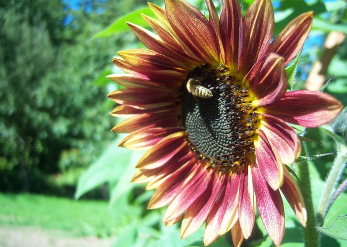 Sun Greeting Card featuring the photograph Sunflower 109 by Ken Day