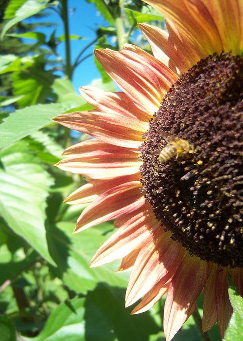 Sun Greeting Card featuring the photograph Sunflower 112 by Ken Day