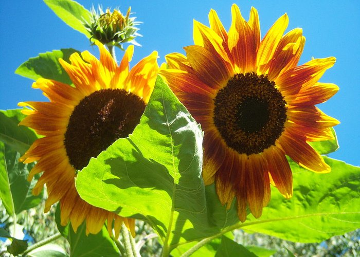 Sun Greeting Card featuring the photograph Sunflower 116 by Ken Day