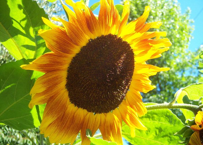 Sun Greeting Card featuring the photograph Sunflower 118 by Ken Day