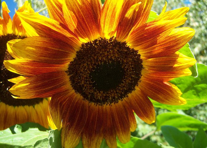Sun Greeting Card featuring the photograph Sunflower 141 by Ken Day