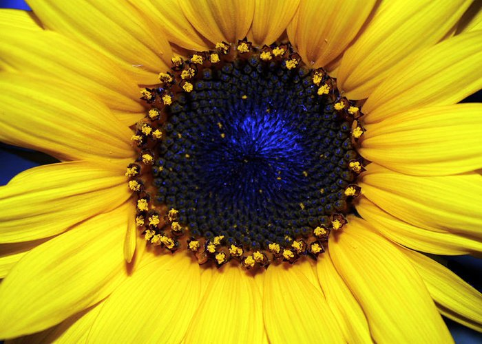 Sunflower Photography Greeting Card featuring the photograph Sunflower 2 by Evelyn Patrick