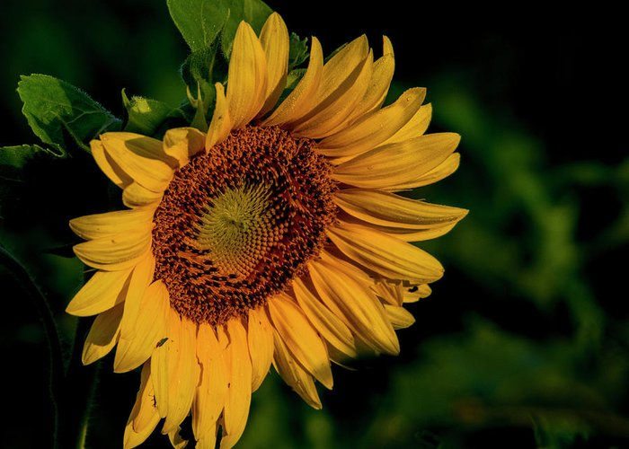 Sunflower Greeting Card featuring the photograph Sunflower 2017 11 by Buddy Scott