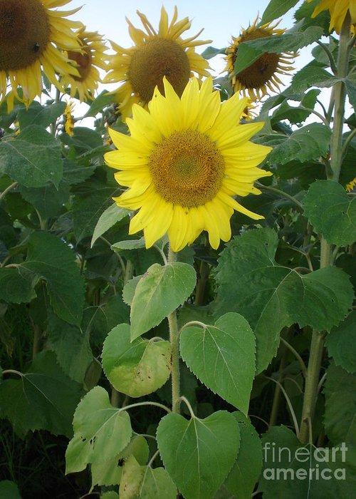 Sunflower's Greeting Card featuring the photograph Sunflower Amungst Sunflower's by Chandelle Hazen
