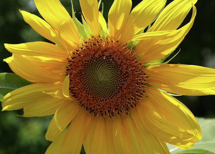 Sunflower Greeting Card featuring the photograph Sunflower Bloom by Artie Rawls