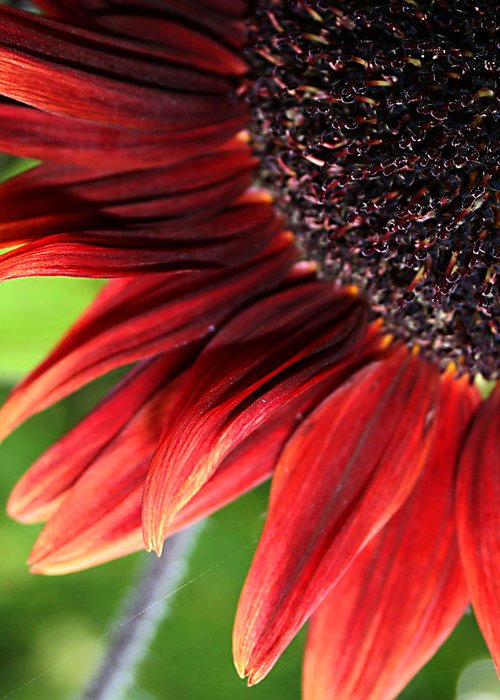 Red Greeting Card featuring the photograph Sunflower by Carol Hicks