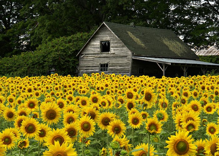 Flowers Sunflowers Barn Greeting Card featuring the photograph Sunflower Field And Barn by Tom Wray