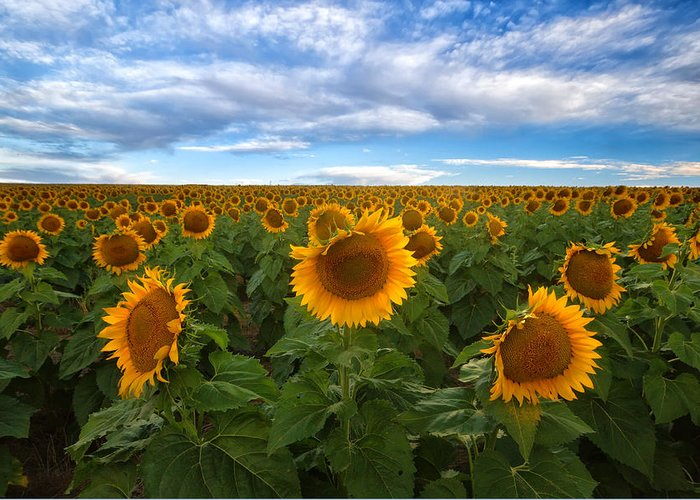 Sunflower Greeting Card featuring the photograph Sunflower Field by Ronda Kimbrow
