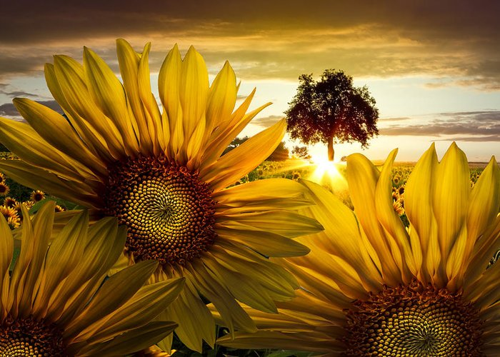 American Greeting Card featuring the photograph Sunflower Heaven by Debra and Dave Vanderlaan