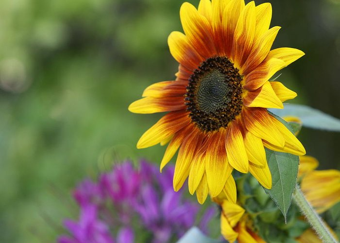 Sunflower Greeting Card featuring the photograph Sunflower by JoJo Photography