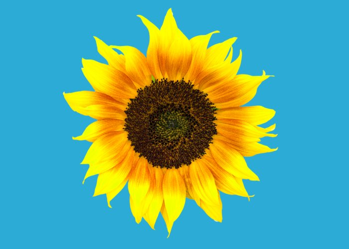 Sunflower Greeting Card featuring the photograph Sunflower by Judith Flacke