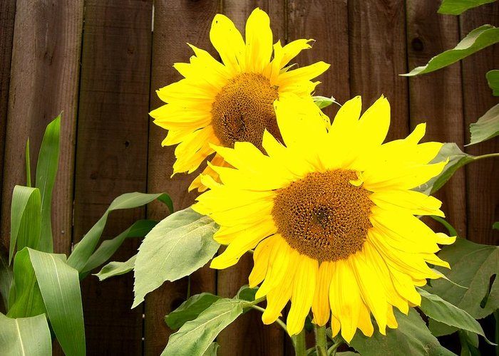 Flower Greeting Card featuring the photograph Sunflower Pair by Nancy Atherton Cheadle