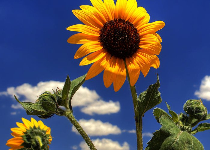 Landscape Greeting Card featuring the photograph Sunflower by Pete Hellmann