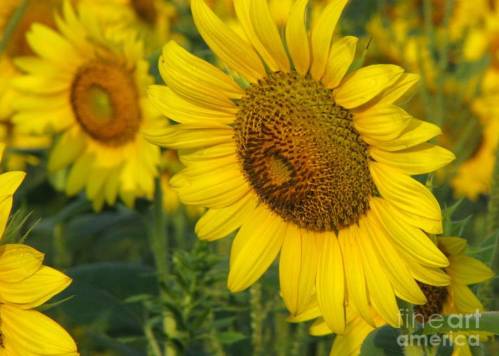 Sunflowers Greeting Card featuring the photograph Sunflower Series by Amanda Barcon