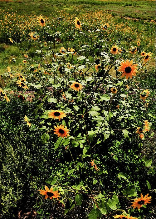 Flowers Greeting Card featuring the photograph Sunflower Stalks by Scott Sawyer