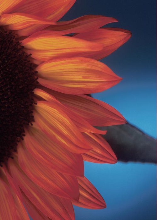 Sunflower Greeting Card featuring the photograph Sunflower Study by Bob Coates